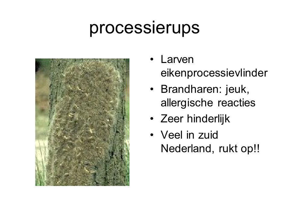 processierups Larven eikenprocessievlinder Brandharen: jeuk, allergische reacties Zeer hinderlijk Veel in zuid Nederland, rukt op!!
