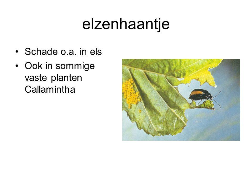 elzenhaantje Schade o.a. in els Ook in sommige vaste planten Callamintha