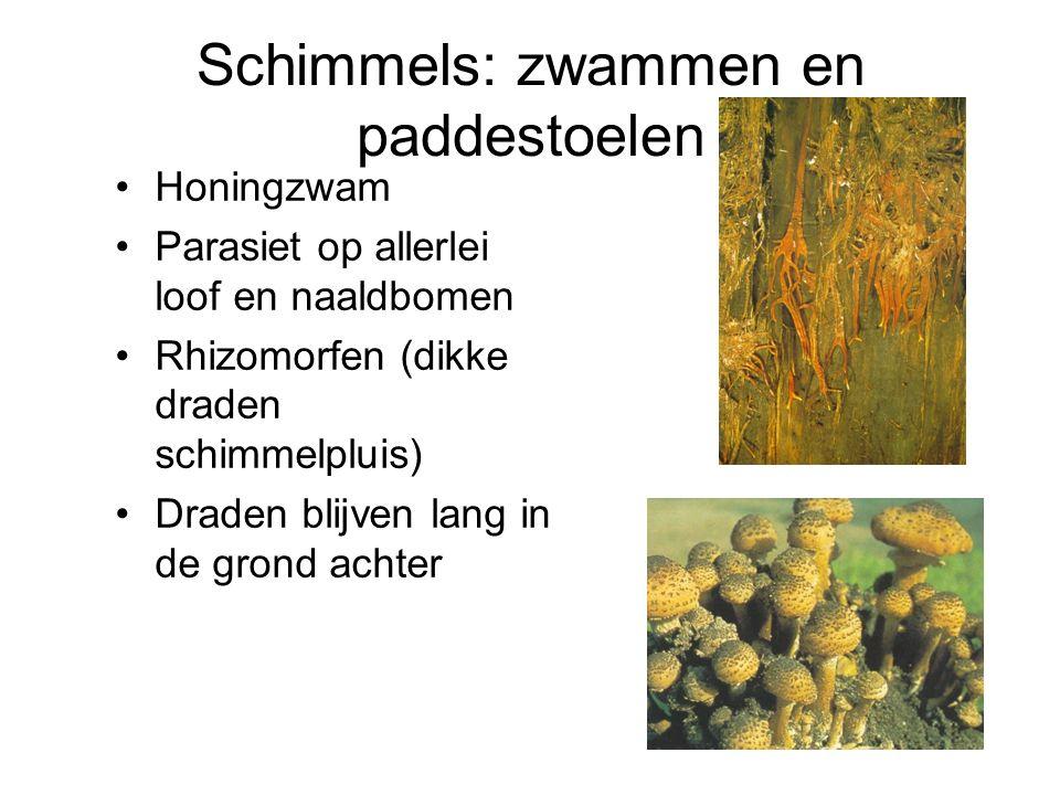 Schimmels: zwammen en paddestoelen Honingzwam Parasiet op allerlei loof en naaldbomen Rhizomorfen (dikke draden schimmelpluis) Draden blijven lang in