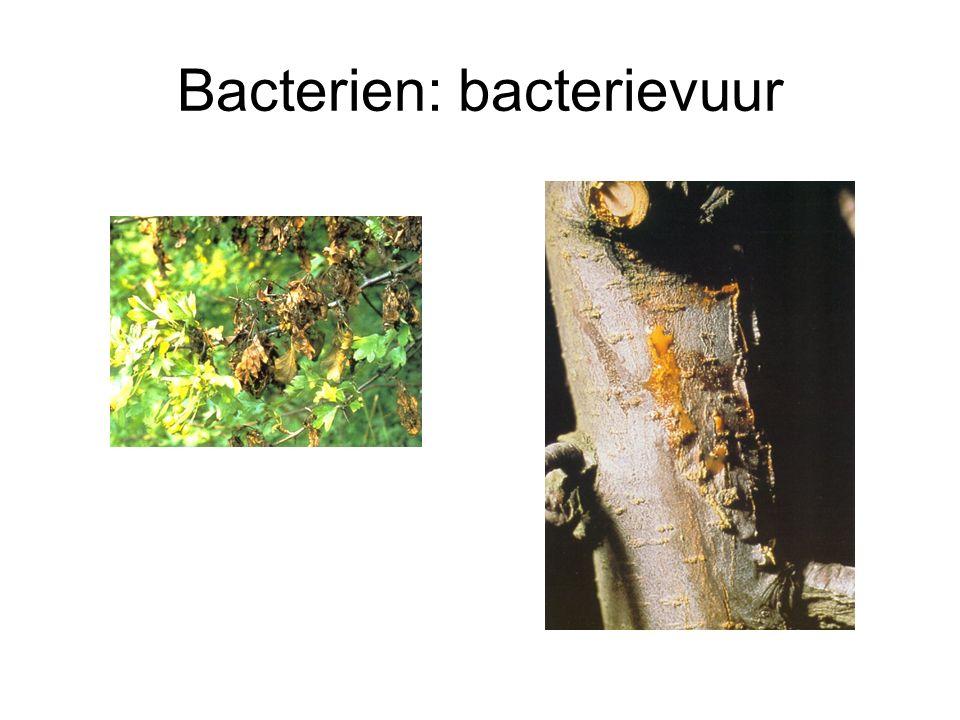 Bacterien: bacterievuur