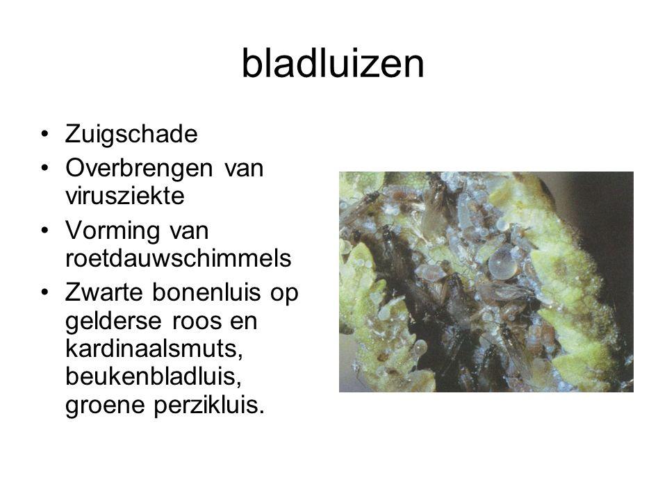 bladluizen Zuigschade Overbrengen van virusziekte Vorming van roetdauwschimmels Zwarte bonenluis op gelderse roos en kardinaalsmuts, beukenbladluis, g