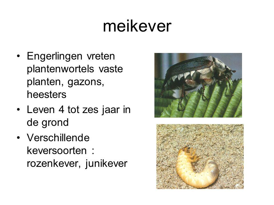meikever Engerlingen vreten plantenwortels vaste planten, gazons, heesters Leven 4 tot zes jaar in de grond Verschillende keversoorten : rozenkever, j