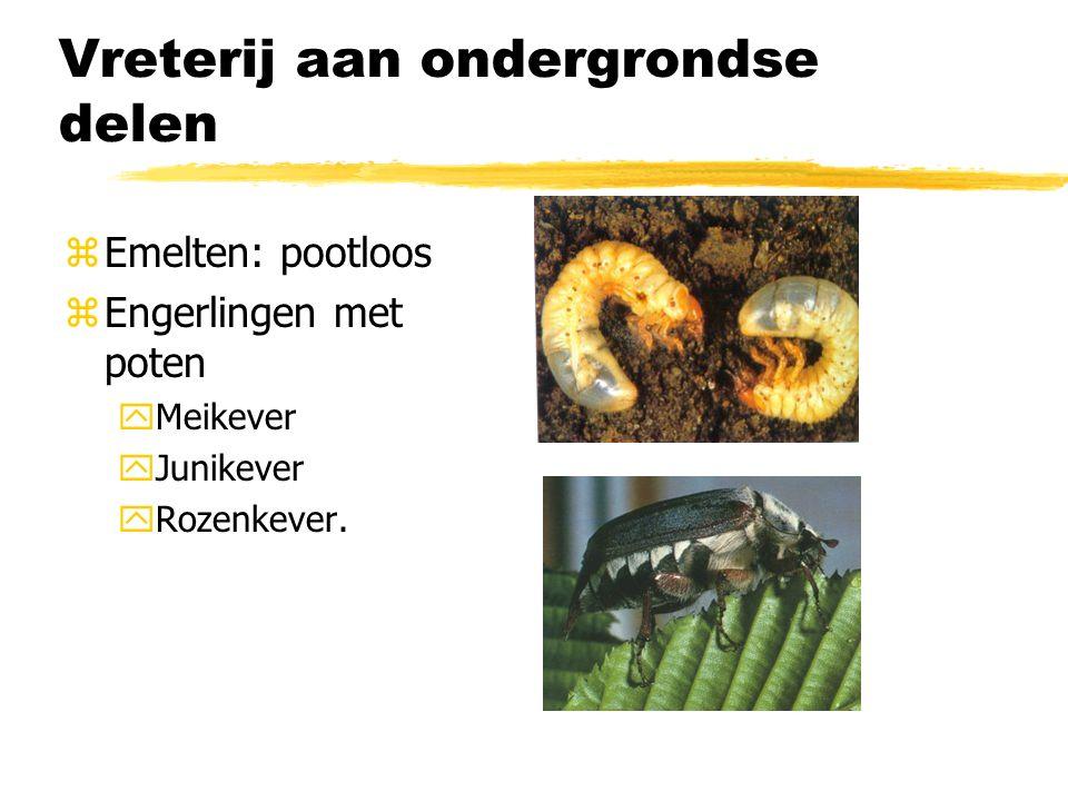 Vreterij aan ondergrondse delen zEmelten: pootloos zEngerlingen met poten yMeikever yJunikever yRozenkever.