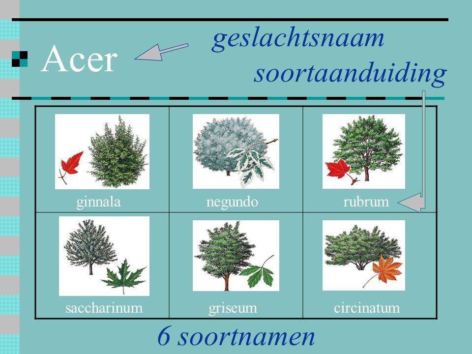 Acer ginnala circinatumgriseumsaccharinum rubrumnegundo 6 soortnamen geslachtsnaam soortaanduiding