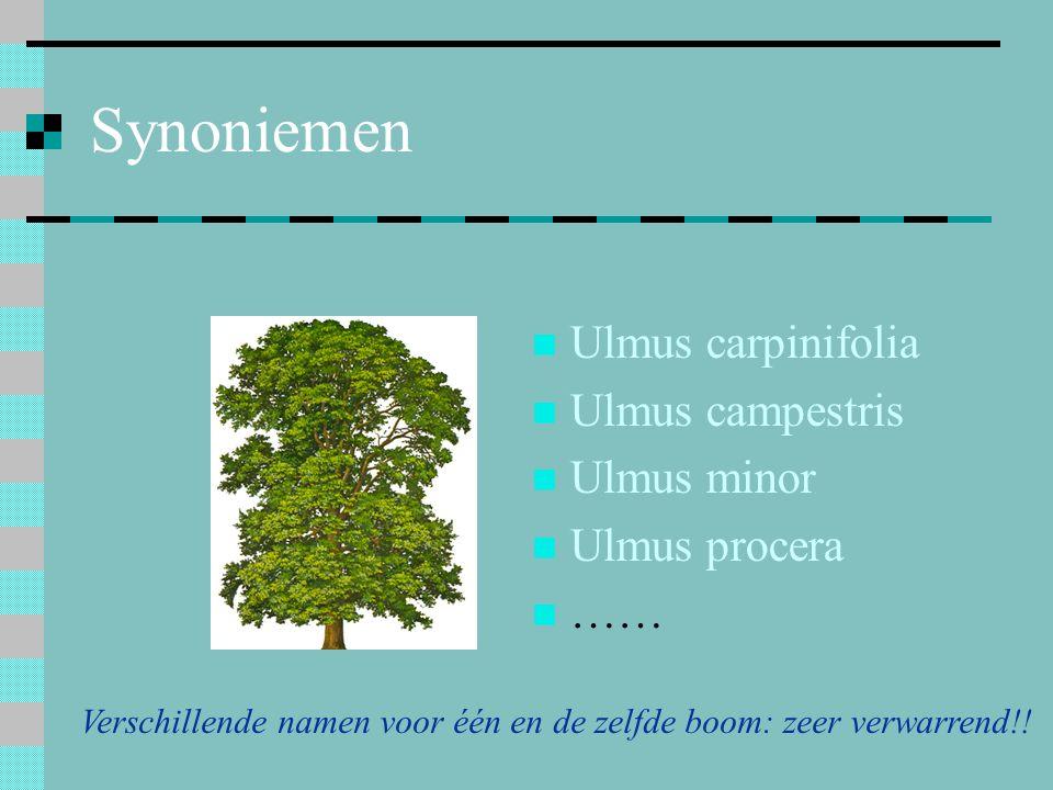 Synoniemen Ulmus carpinifolia Ulmus campestris Ulmus minor Ulmus procera …… Verschillende namen voor één en de zelfde boom: zeer verwarrend!!