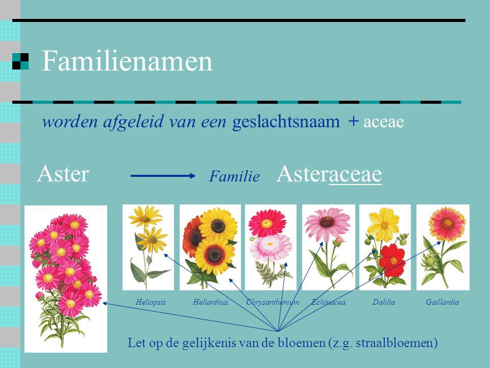 Familienamen worden afgeleid van een geslachtsnaam + aceae Aster Familie Asteraceae HeliopsisHelianthusChrysanthemumEchinaceaDahliaGaillardia Let op d