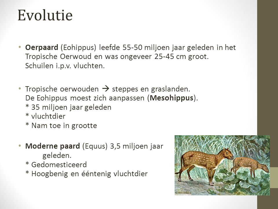 Evolutie Oerpaard (Eohippus) leefde 55-50 miljoen jaar geleden in het Tropische Oerwoud en was ongeveer 25-45 cm groot.