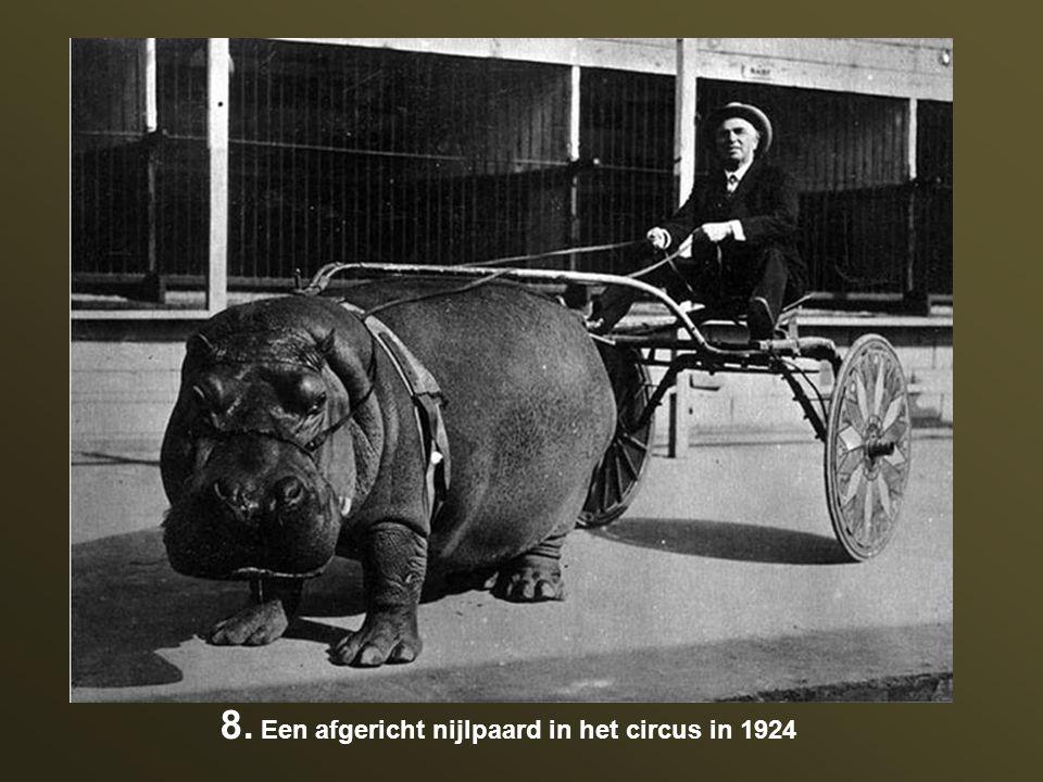 8. Een afgericht nijlpaard in het circus in 1924
