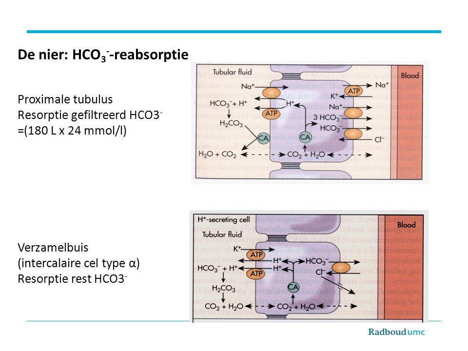 De nier: HCO 3 - -reabsorptie Proximale tubulus Resorptie gefiltreerd HCO3 - =(180 L x 24 mmol/l) Verzamelbuis (intercalaire cel type α) Resorptie rest HCO3 -