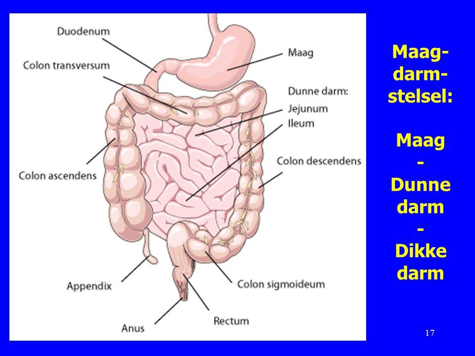 Maag- darm- stelsel: Maag - Dunne darm - Dikke darm 17