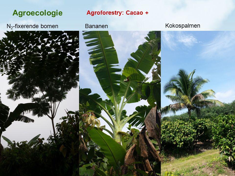 Agroecologie Agroforestry: Cacao + N 2 -fixerende bomenBananen Kokospalmen