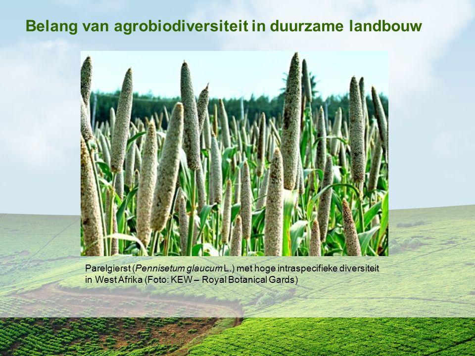 Parelgierst (Pennisetum glaucum L.) met hoge intraspecifieke diversiteit in West Afrika (Foto: KEW – Royal Botanical Gards) Belang van agrobiodiversit