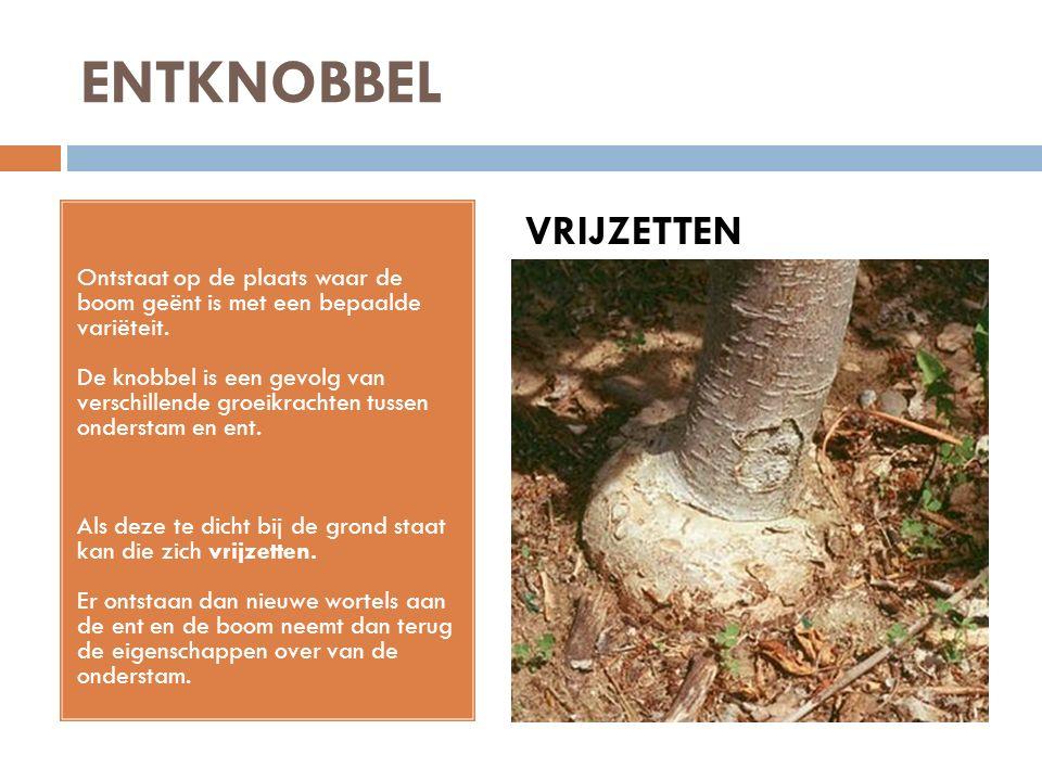 ENTKNOBBEL Ontstaat op de plaats waar de boom geënt is met een bepaalde variëteit. De knobbel is een gevolg van verschillende groeikrachten tussen ond