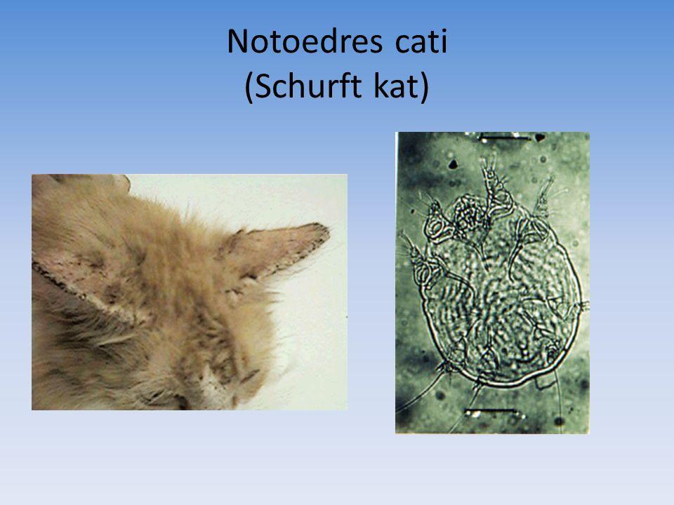 Notoedres cati (Schurft kat)