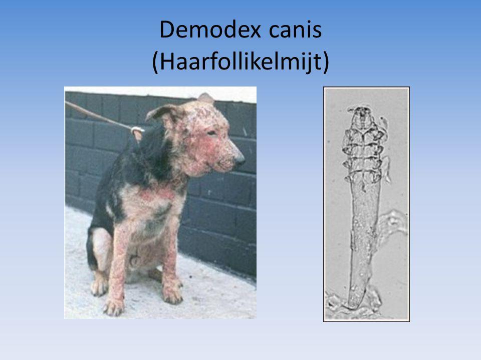 Demodex canis (Haarfollikelmijt)