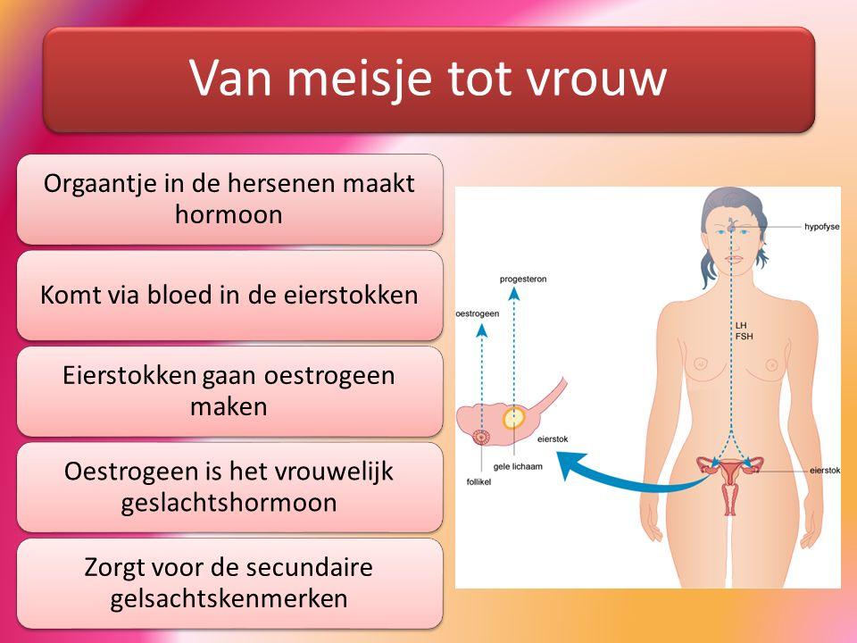 Van meisje tot vrouw Orgaantje in de hersenen maakt hormoon Komt via bloed in de eierstokken Eierstokken gaan oestrogeen maken Oestrogeen is het vrouw