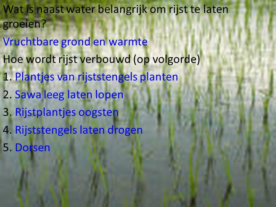 Wat is naast water belangrijk om rijst te laten groeien? Vruchtbare grond en warmte Hoe wordt rijst verbouwd (op volgorde) 1. Plantjes van rijststenge