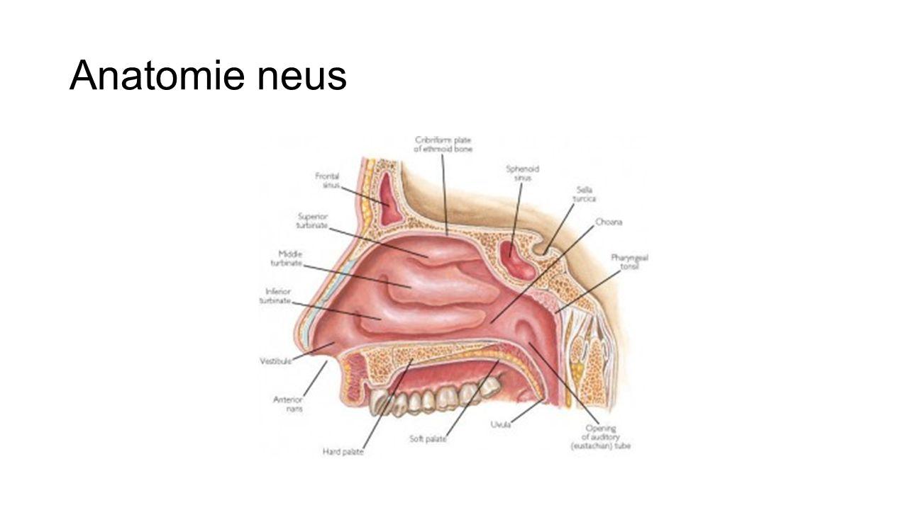 Anatomie neus