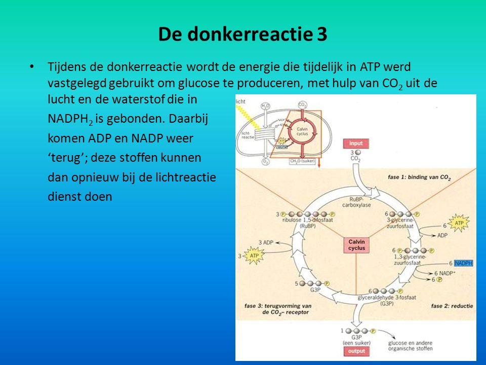 De donkerreactie 3 Tijdens de donkerreactie wordt de energie die tijdelijk in ATP werd vastgelegd gebruikt om glucose te produceren, met hulp van CO 2