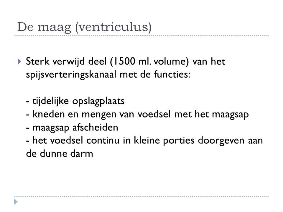 De maag (ventriculus)  Sterk verwijd deel (1500 ml. volume) van het spijsverteringskanaal met de functies: - tijdelijke opslagplaats - kneden en meng