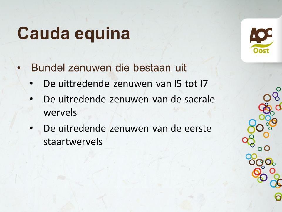 Cauda equina Bundel zenuwen die bestaan uit De uittredende zenuwen van l5 tot l7 De uitredende zenuwen van de sacrale wervels De uitredende zenuwen va