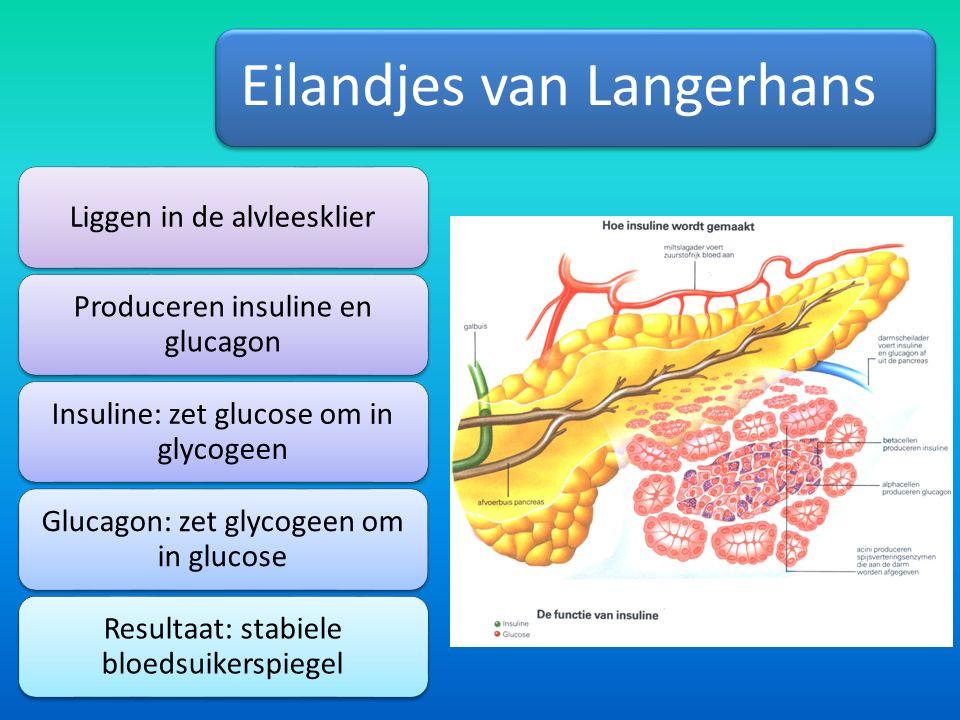Eilandjes van Langerhans Liggen in de alvleesklier Produceren insuline en glucagon Insuline: zet glucose om in glycogeen Glucagon: zet glycogeen om in