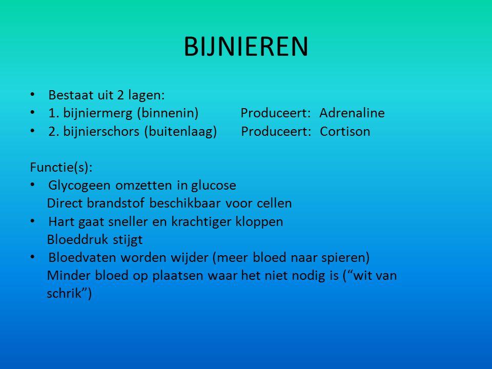 BIJNIEREN Bestaat uit 2 lagen: 1. bijniermerg (binnenin) Produceert: Adrenaline 2. bijnierschors (buitenlaag) Produceert: Cortison Functie(s): Glycoge