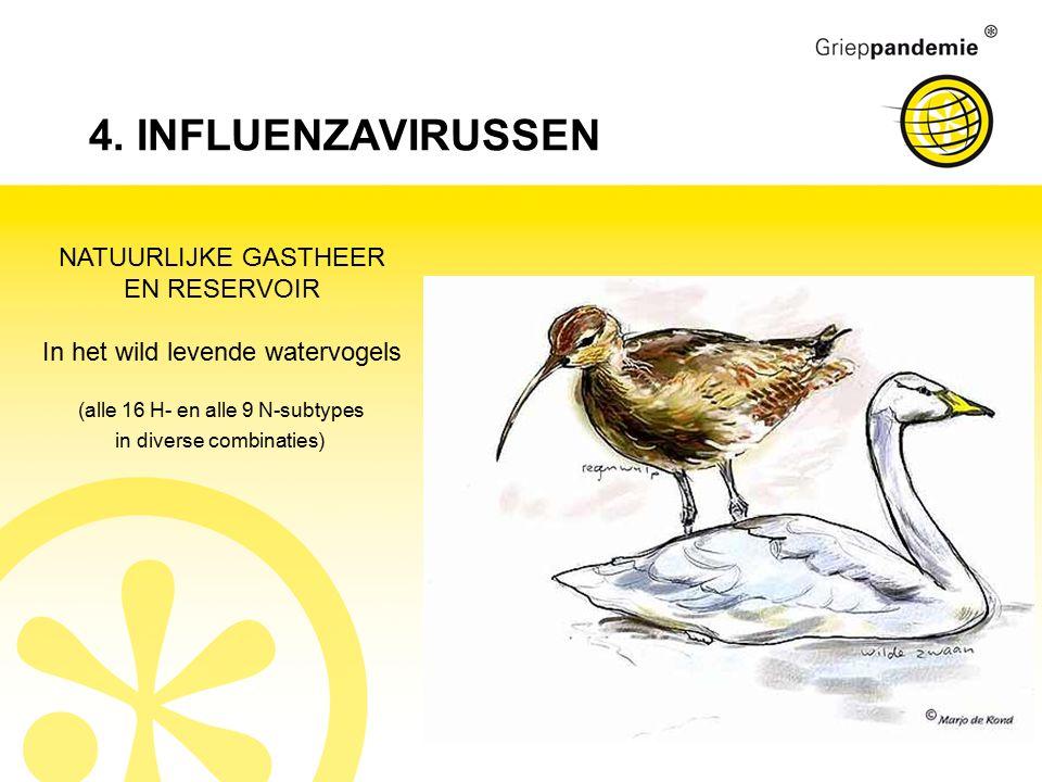 4. INFLUENZAVIRUSSEN NATUURLIJKE GASTHEER EN RESERVOIR In het wild levende watervogels (alle 16 H- en alle 9 N-subtypes in diverse combinaties)