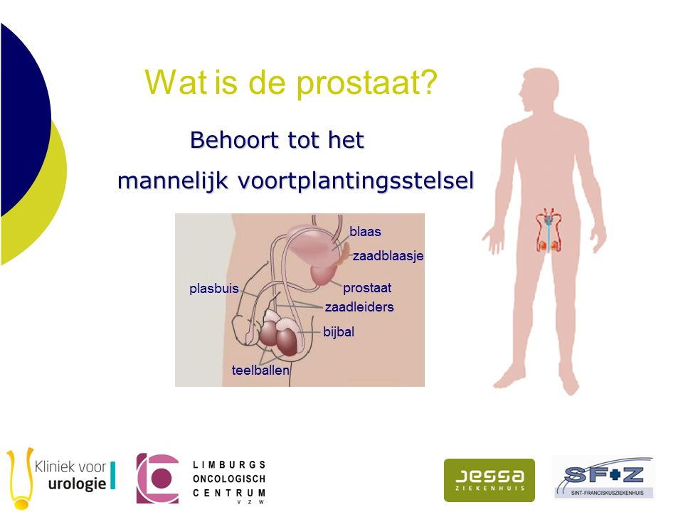 Wat is de prostaat? Behoort tot het Behoort tot het mannelijk voortplantingsstelsel mannelijk voortplantingsstelsel