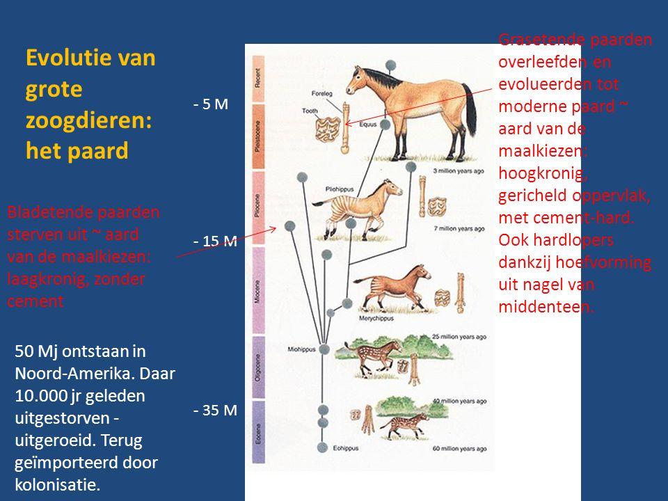 - 5 M - 15 M - 35 M Evolutie van grote zoogdieren: het paard Bladetende paarden sterven uit ~ aard van de maalkiezen: laagkronig, zonder cement Grasetende paarden overleefden en evolueerden tot moderne paard ~ aard van de maalkiezen: hoogkronig, gericheld oppervlak, met cement-hard.