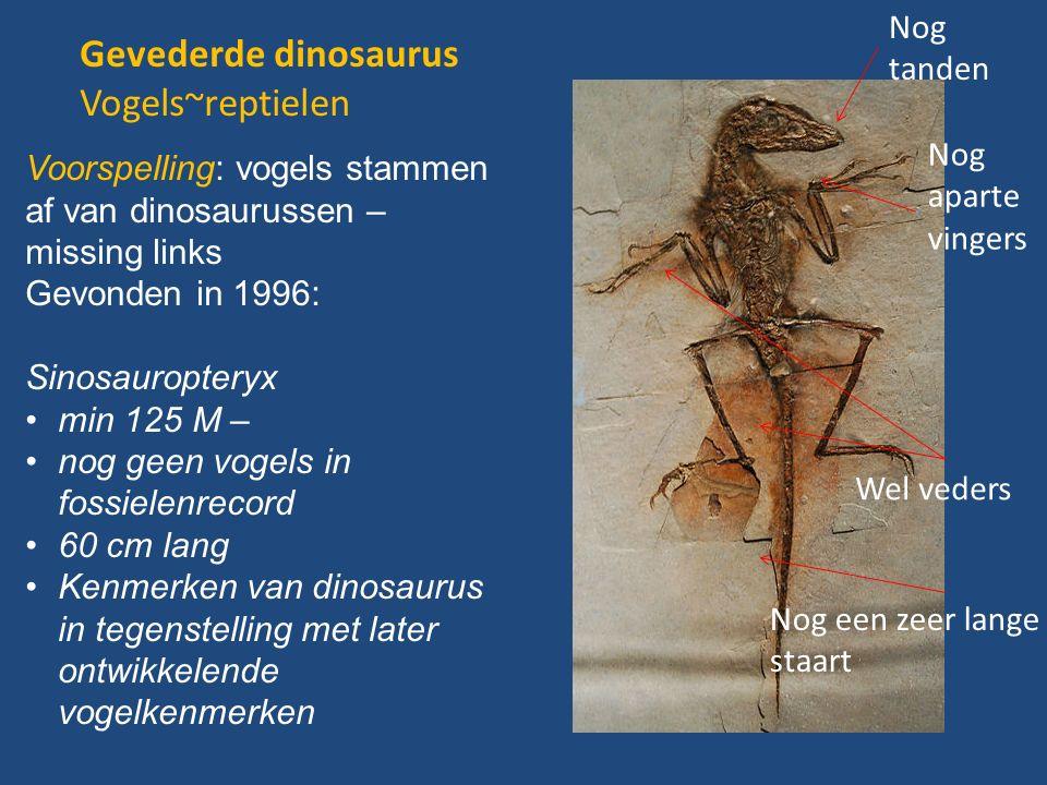 Gevederde dinosaurus Vogels~reptielen Nog tanden Nog aparte vingers Nog een zeer lange staart Wel veders Voorspelling: vogels stammen af van dinosaurussen – missing links Gevonden in 1996: Sinosauropteryx min 125 M – nog geen vogels in fossielenrecord 60 cm lang Kenmerken van dinosaurus in tegenstelling met later ontwikkelende vogelkenmerken