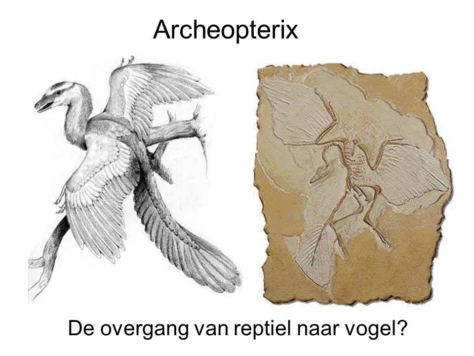 Archeopterix De overgang van reptiel naar vogel