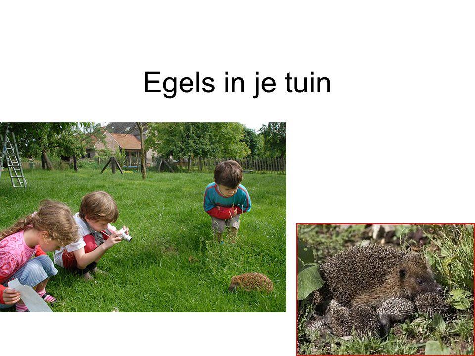 Vragen Egel zwemt.