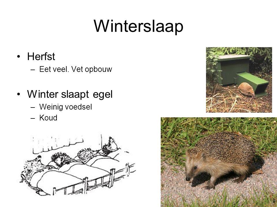 Winterslaap Herfst –Eet veel. Vet opbouw Winter slaapt egel –Weinig voedsel –Koud