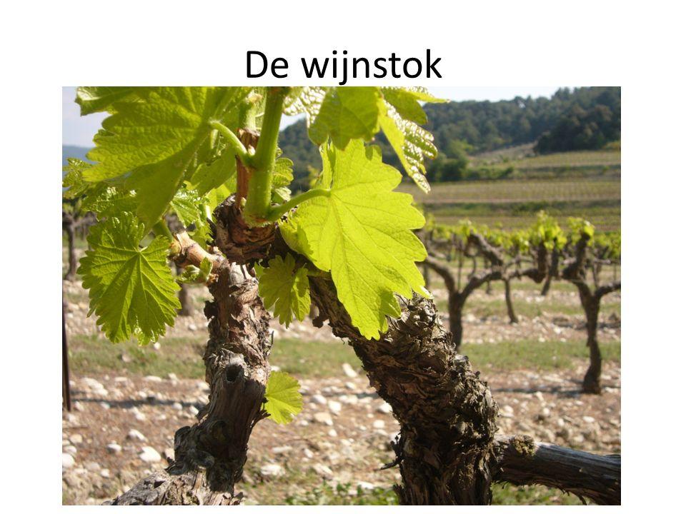 De wijnstok