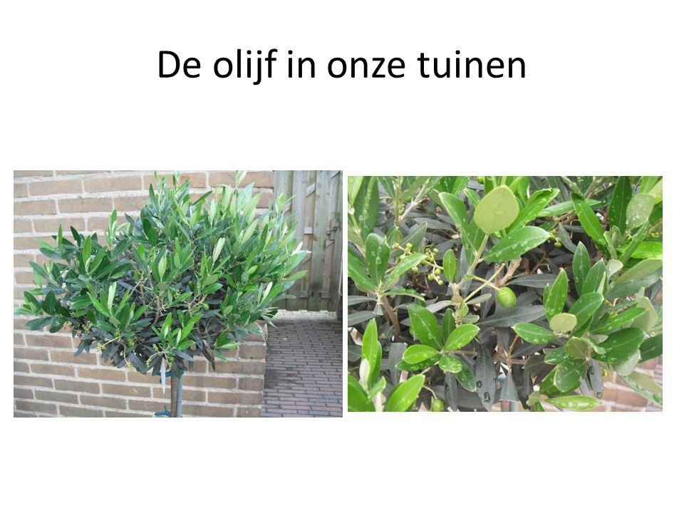 De olijf in onze tuinen
