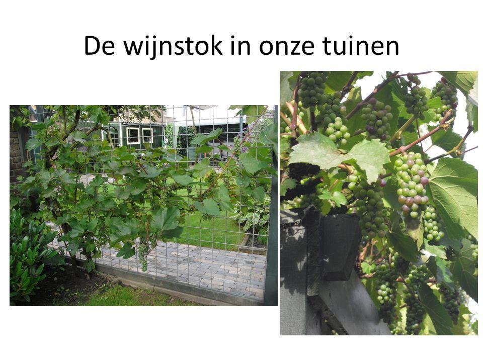 De wijnstok in onze tuinen