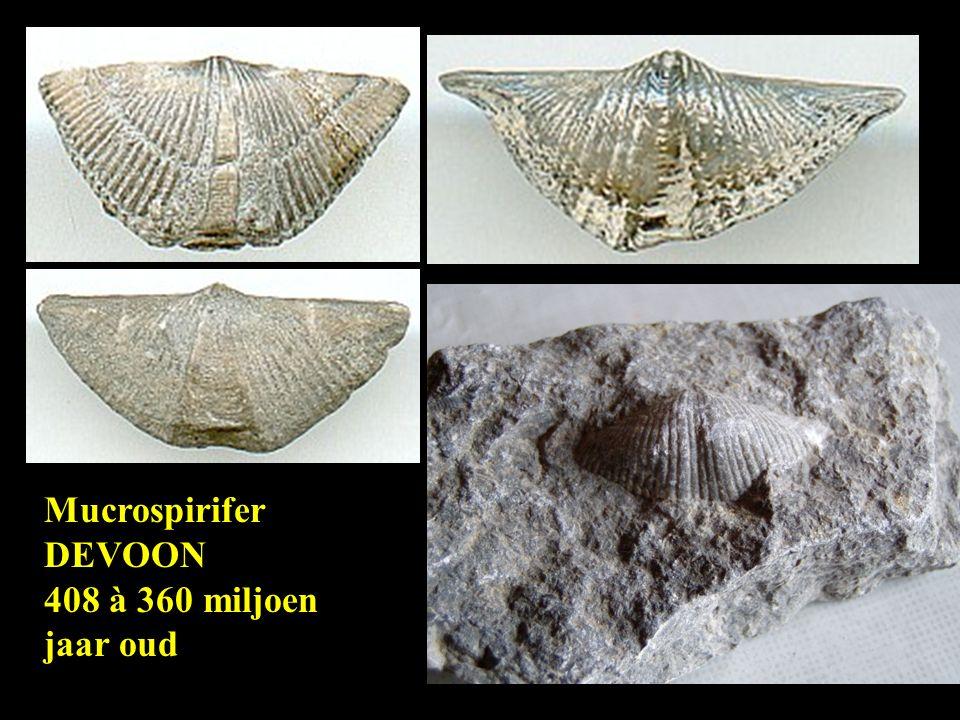Mucrospirifer DEVOON 408 à 360 miljoen jaar oud