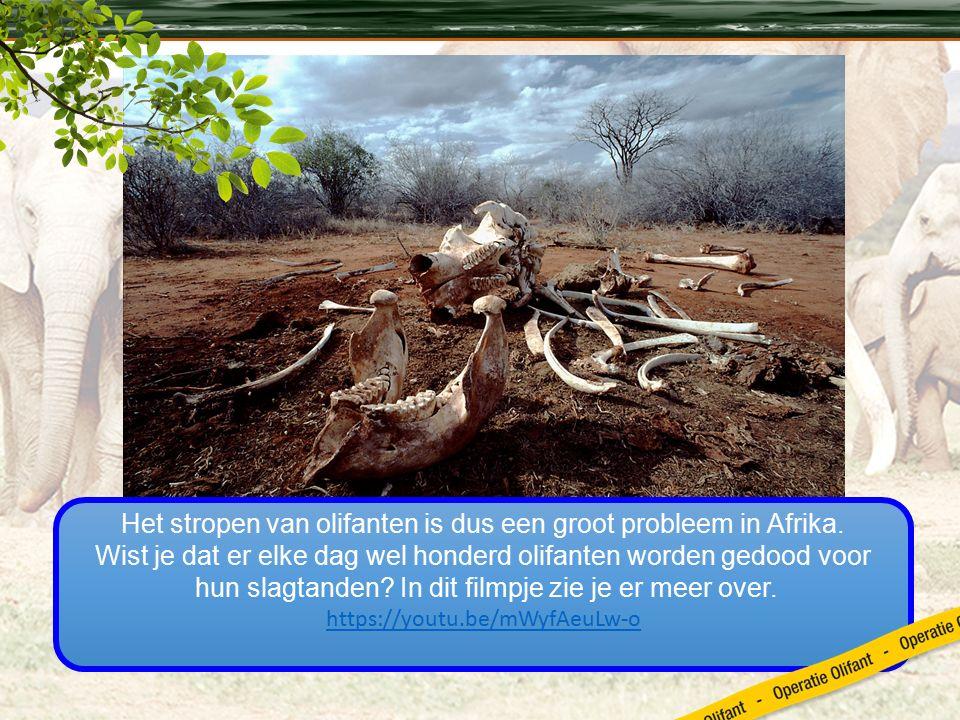 Het stropen van olifanten is dus een groot probleem in Afrika.