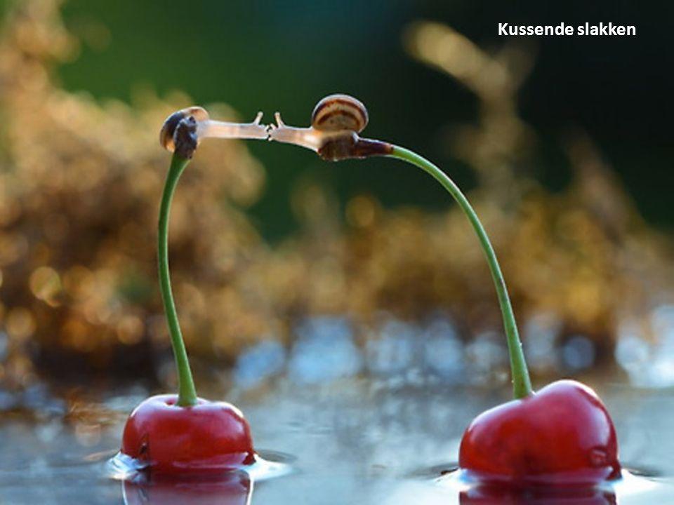 Kussende slakken