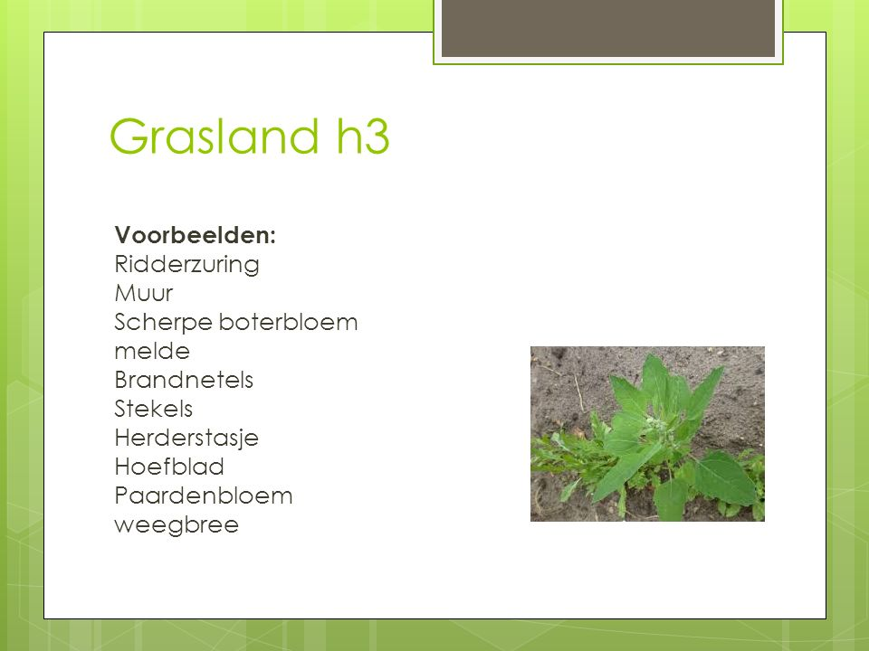 Grasland h3 Voorbeelden: Ridderzuring Muur Scherpe boterbloem melde Brandnetels Stekels Herderstasje Hoefblad Paardenbloem weegbree