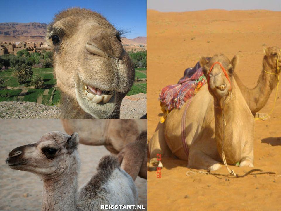 kameel Schip van de woestijn. Lang zonder water. Het belangrijkste vervoermiddel.