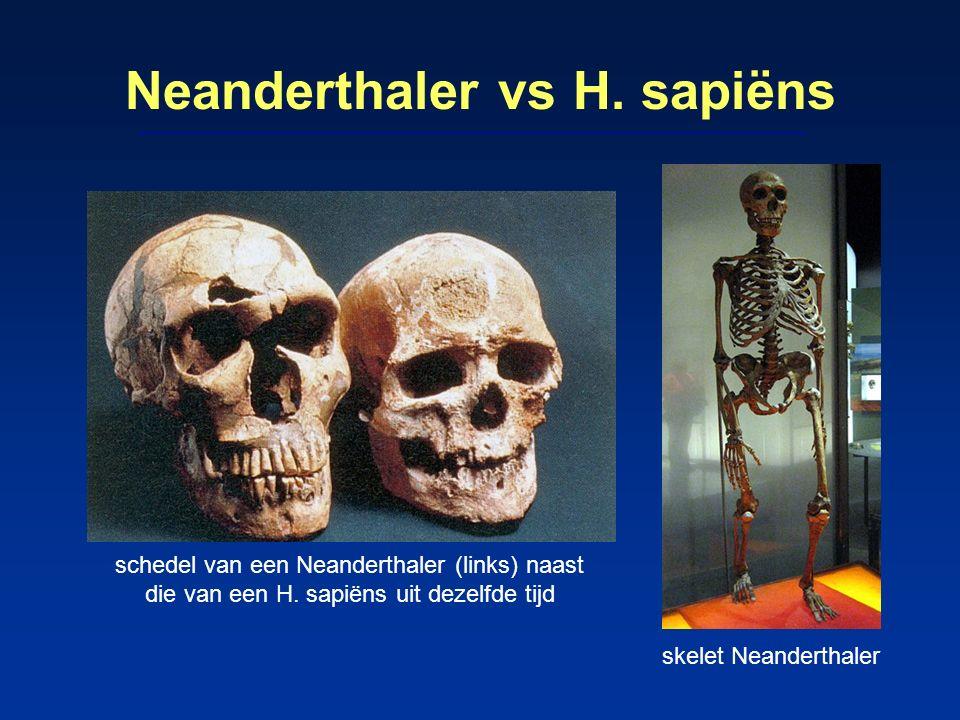 Neanderthaler vs H. sapiëns schedel van een Neanderthaler (links) naast die van een H. sapiëns uit dezelfde tijd skelet Neanderthaler