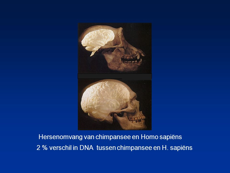 Hersenomvang van chimpansee en Homo sapiëns 2 % verschil in DNA tussen chimpansee en H. sapiëns