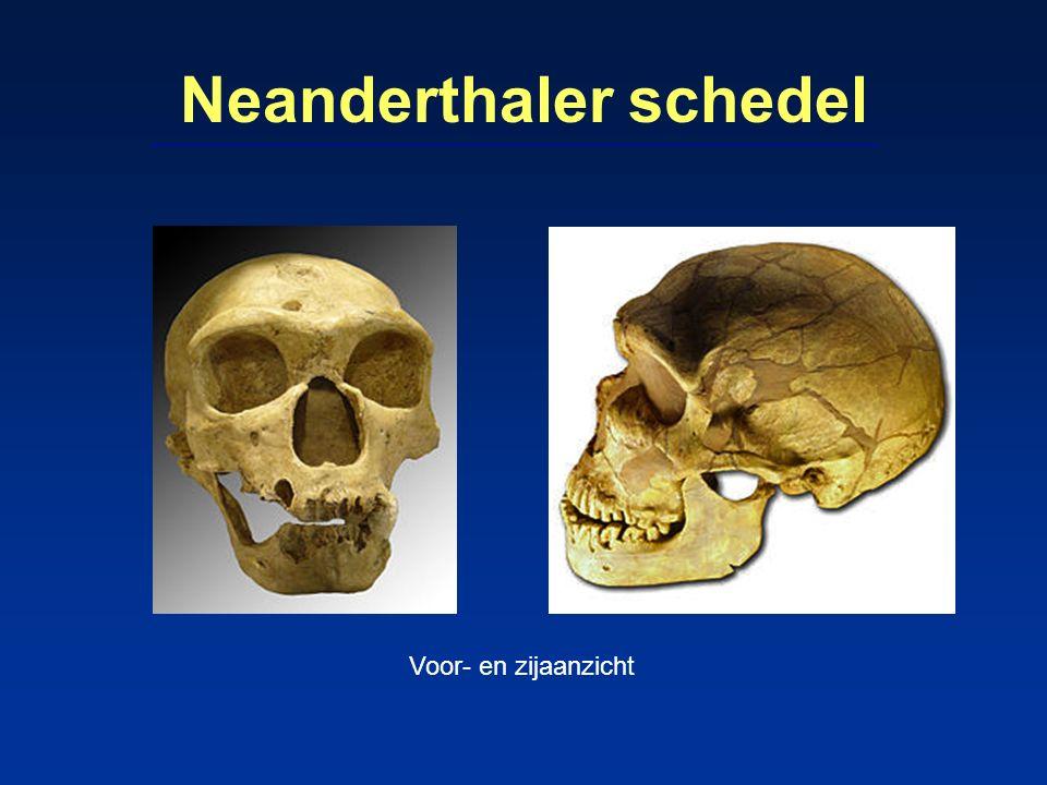 Leefwijze Neanderthalers (2) uitstekende jagers op groot wild -gebruikten handsperen voor jacht op oeros, wisent, hert, rendier, muskus-os -met korte handspeer werd gestoken → contactgevechten (veel skeletten met verwondingen aan hals en hoofd) carnivoren, geen vis-eters verzamelden waarschijnlijk ook planten, schaaldieren, reptielen kookten (soms) hun voedsel (Irak 2010) mogelijk kannibalisme