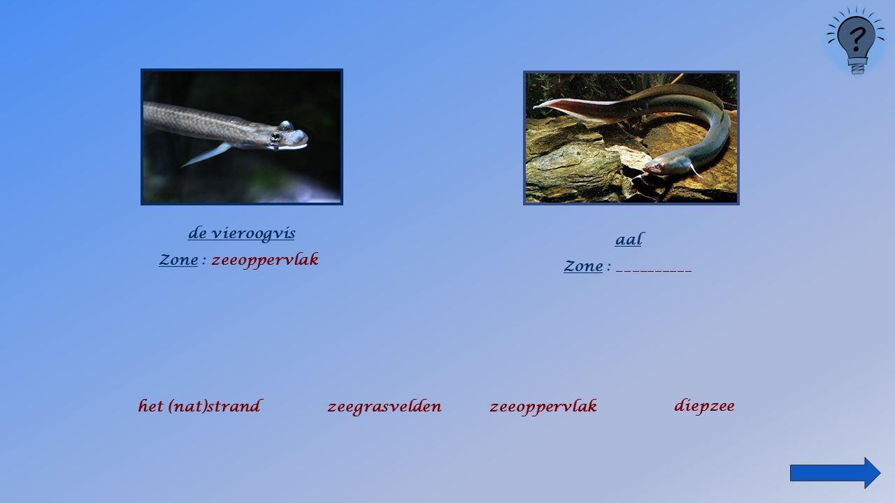 de vieroogvis Zone : _______________ het (nat)strandzeegrasveldenzeeoppervlak diepzee