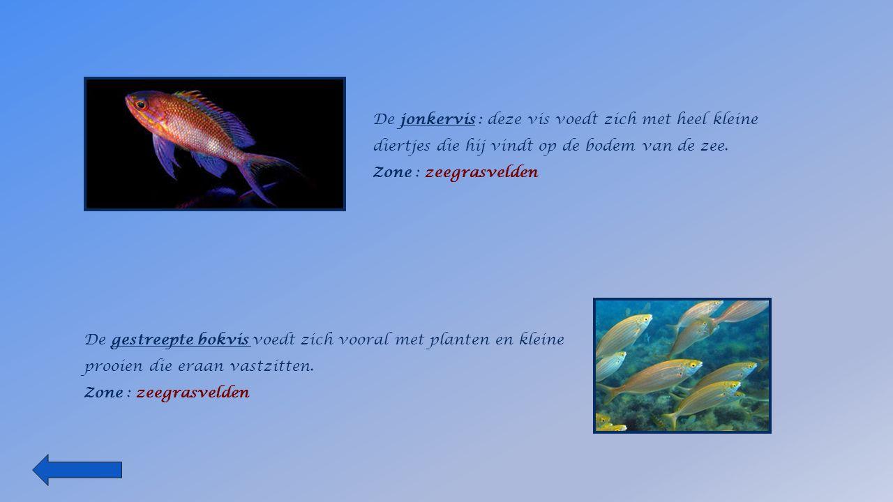 De jonkervis : deze vis voedt zich met heel kleine diertjes die hij vindt op de bodem van de zee.