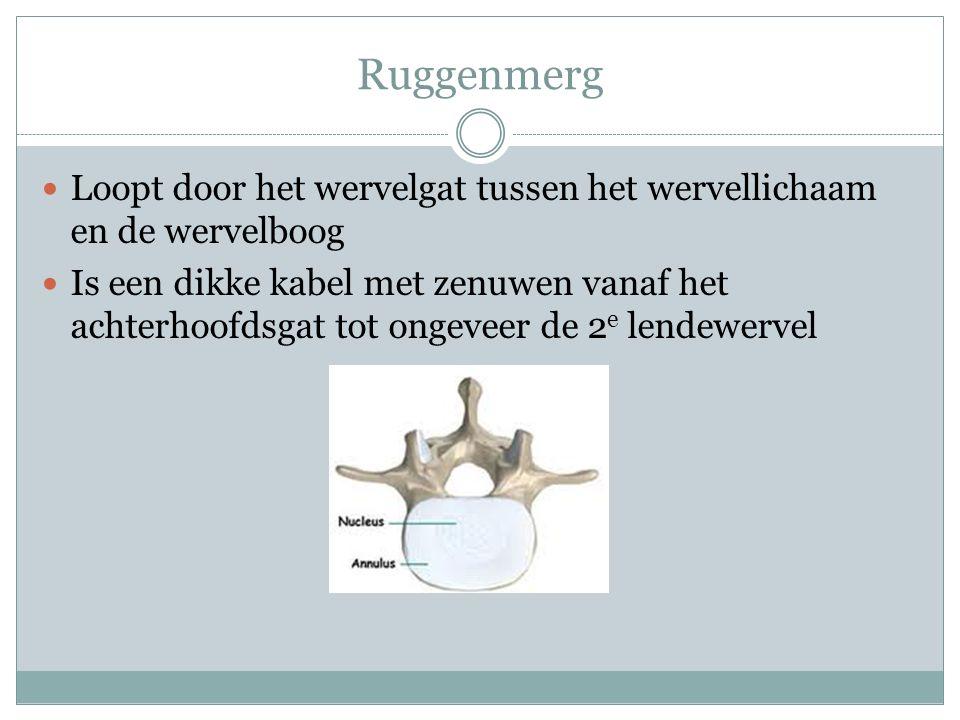 Ruggenmerg Loopt door het wervelgat tussen het wervellichaam en de wervelboog Is een dikke kabel met zenuwen vanaf het achterhoofdsgat tot ongeveer de
