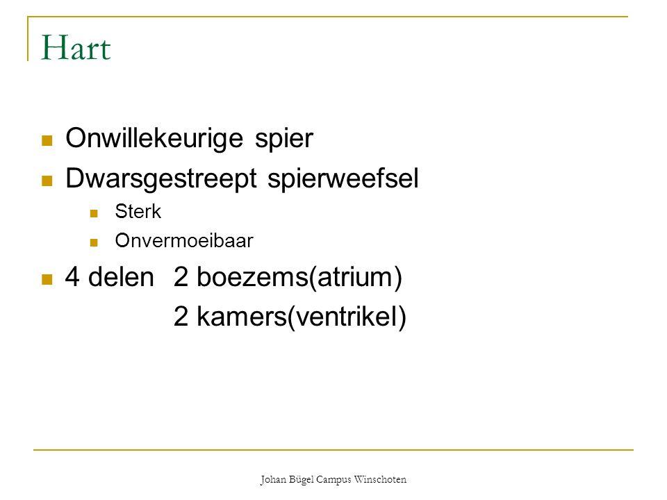 Johan Bügel Campus Winschoten Hart Onwillekeurige spier Dwarsgestreept spierweefsel Sterk Onvermoeibaar 4 delen2 boezems(atrium) 2 kamers(ventrikel)