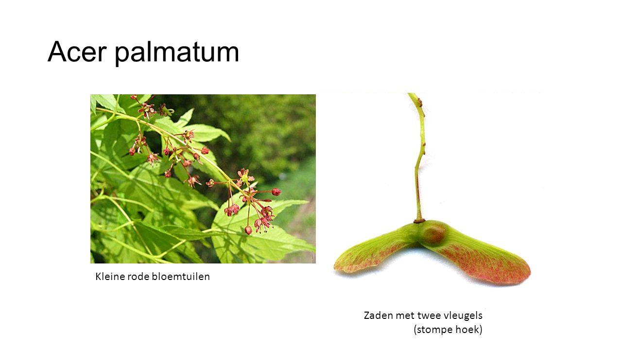 Verschillen Acer-soorten Acer campestreAcer palmatum BladKlein, 5-lobbig Dof groen Klein, bijna 5-delig (diep ingesneden) Groen TwijgRoodbruin, soms kurklijstenRood-groen, glanzend KnopRoodbruinRood ZadenVleugels haaks afstaandVleugels stompe hoek HerfstkleurGeelRood